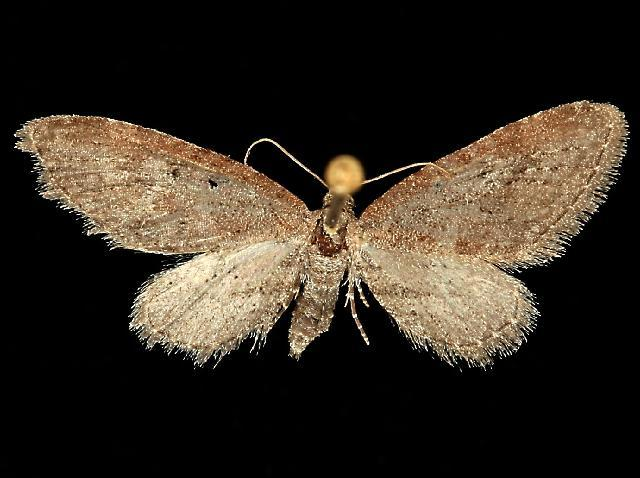 Image of <i>Eupithecia purpurissata</i> Grossbeck 1908