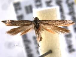 Image of Scythridinae