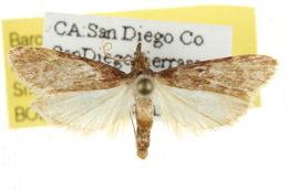Image of <i>Acallis gripalis</i> Hulst 1886
