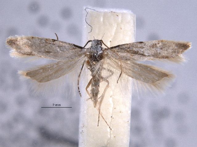 Image of <i>Arotrura balli</i>