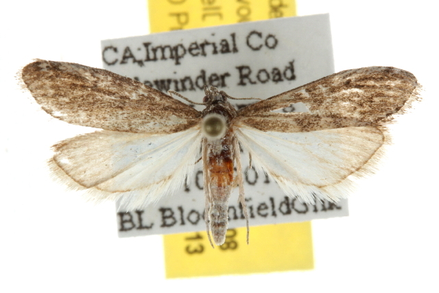 Image of <i>Arispe cestalis</i> Hulst 1886