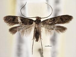 Image of <i>Phereoeca praecox</i> Gozmány & Vári 1973