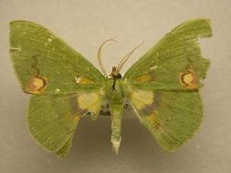 Image of <i>Rhodochlora</i>