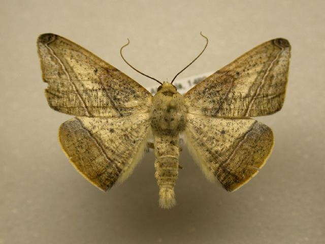 Image of Bassania CRocallinaria