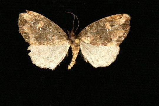 Image of <i>Euphyia</i>