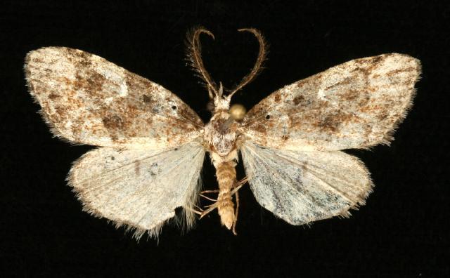 Image of <i>Meganola</i>