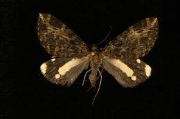 Image of <i>Erebochlora</i>