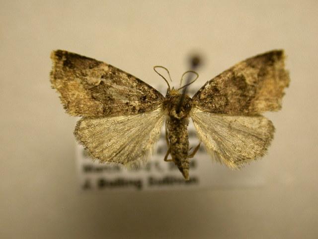 Image of Mictochroa