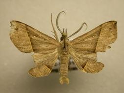 Image of Pterhemia