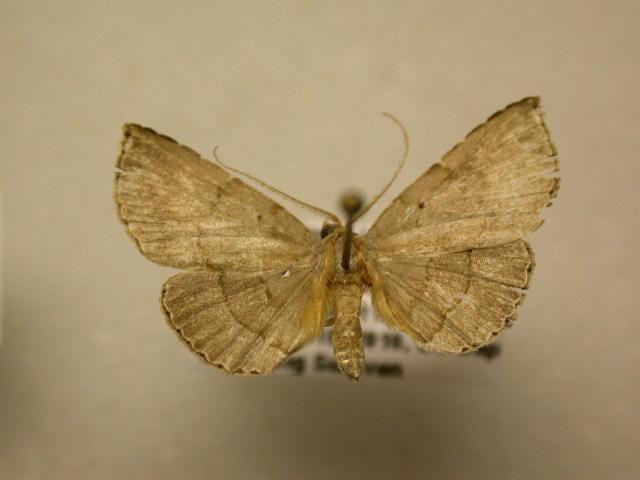 Image of Carteris
