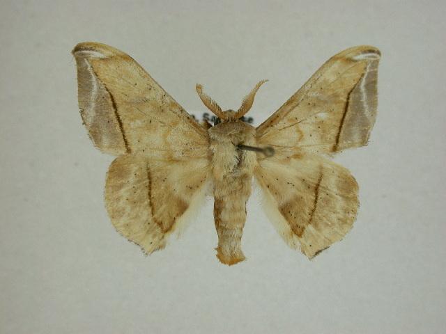 Image of Pamea