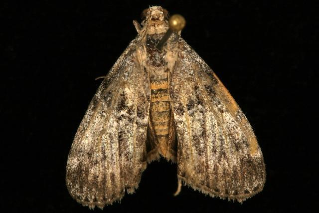 Image of <i>Pococera asperatella</i> Clemens 1860