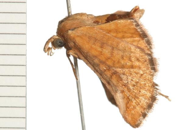 Image of Abrotesia