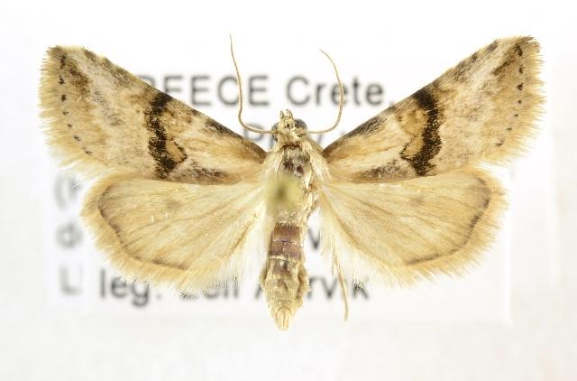 Image of Rivulinae