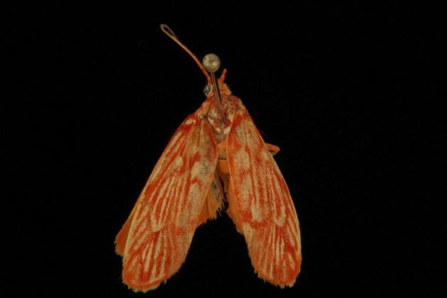Image of <i>Lactura erythractis</i> Meyrick 1886