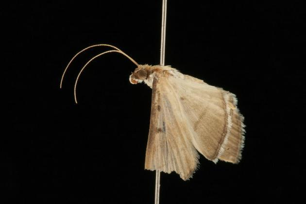 Image of <i>Bradina admixtalis</i> Walker 1859