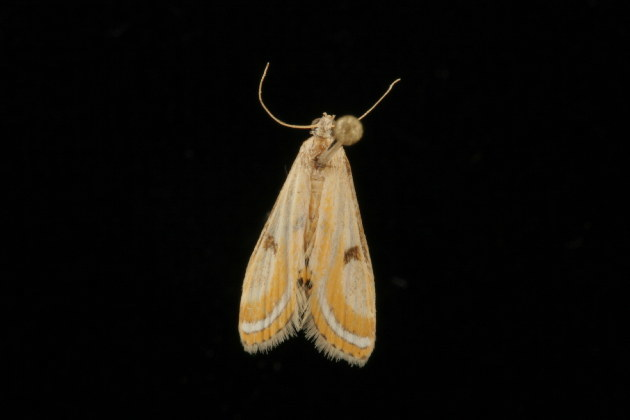 Image of <i>Tetrernia terminitis</i> Meyrick 1890