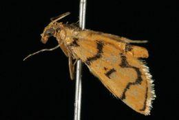 Image of <i>Dichocrocis erixantha</i> Meyrick 1886