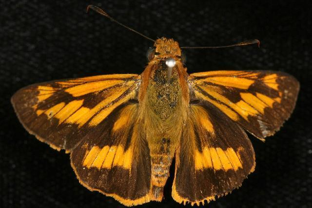 Image of Orange Palmdart