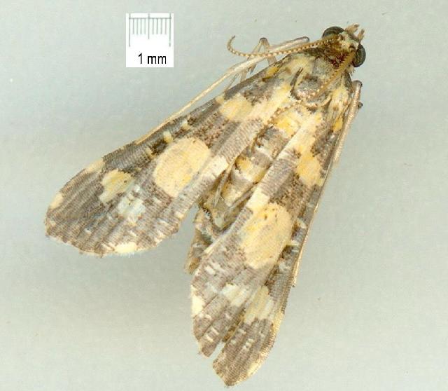 Image of <i>Eurrhyparodes bracteolis</i>