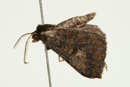 Image of <i>Amelora adusta</i> Turner 1947