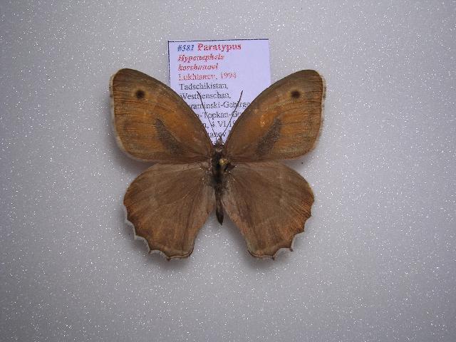 Image of <i>Hyponephele korshunovi</i>