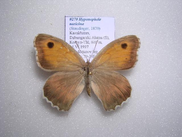 Image of <i>Hyponephele naricina</i> Staudinger 1870