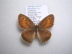 Image of <i>Hyponephele haberhaueri</i>