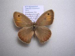 Image of <i>Hyponephele cadusina</i>