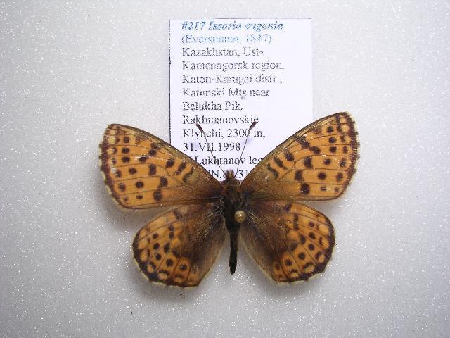 Image of <i>Issoria eugenia</i> Eversmann 1847