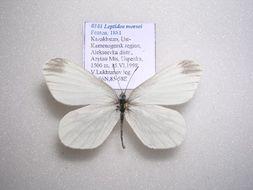 Image of <i>Leptidea morsei</i> Fenton 1881