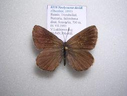Image of <i>Neolycaena davidi</i>