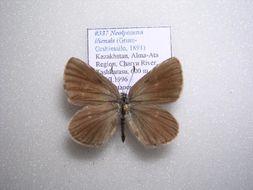Image of <i>Neolycaena iliensis</i>