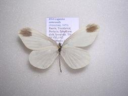 Image of <i>Leptidea amurensis</i> (Ménétriés 1859)