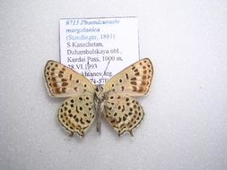 Image of <i>Phoenicurusia margelanica</i>