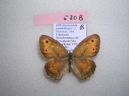 Image of <i>Hyponephele pseudokirgisa</i>