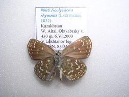 Image of <i>Neolycaena rhymnus</i>