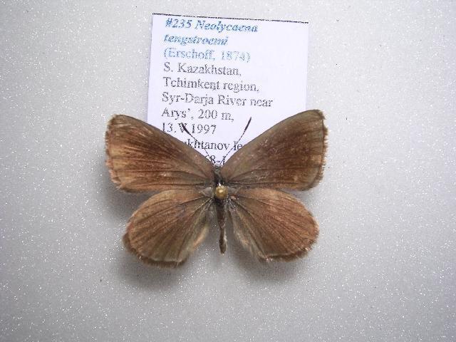 Image of <i>Neolycaena tengstroemi</i>