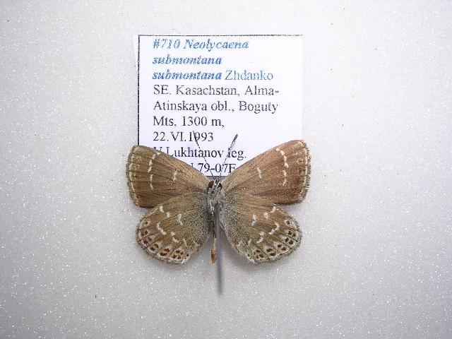 Image of <i>Neolycaena <i>submontana</i></i> submontana
