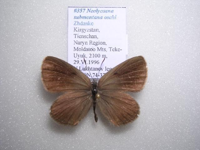 Image of <i>Neolycaena oschi</i>
