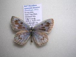 Image of <i>Maculinea cyanecula</i>