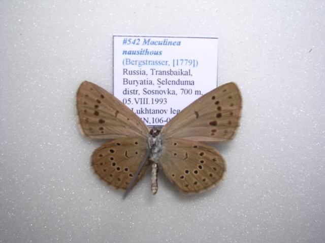 Image of <i>Maculinea nausithous</i> (Bergsträsser (1779))