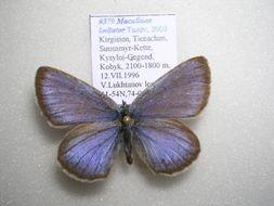 Image of <i>Maculinea alcon imitator</i>