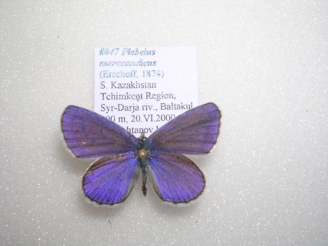 Image of <i>Plebejus maracandicus</i>