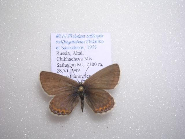 Image of <i>Plebejus calliopis sailjugemicus</i>