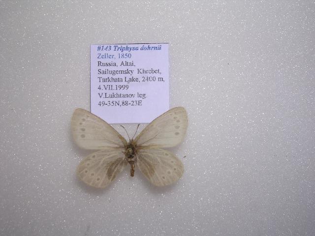 Image of <i>Triphysa dohrnii</i>