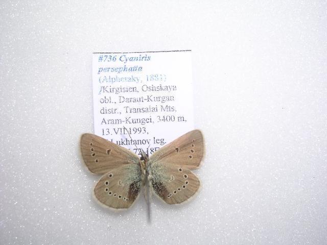 Image of <i>Eumedonia persephatta</i>