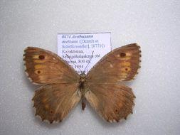 Image of <i>Arethusana arethusa</i> Schiffermüller 1775