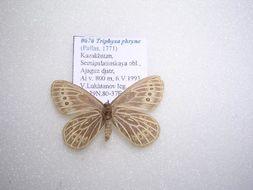 Image of <i>Triphysa phryne</i> Pallas 1771