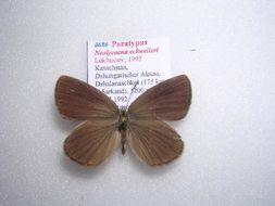 Image of <i>Neolycaena eckweileri</i>